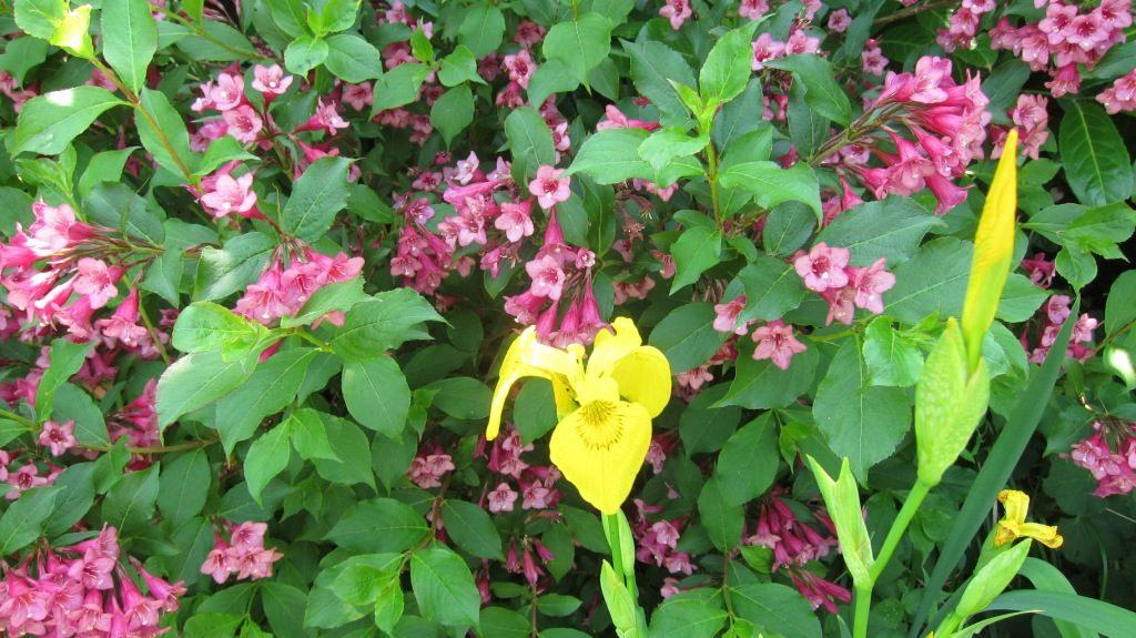 Gelbe Lilie vor rosa Blume