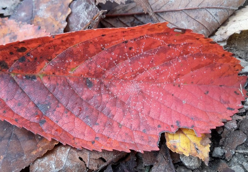 Lebensfreude rotes Blatt mit Spinnennetz