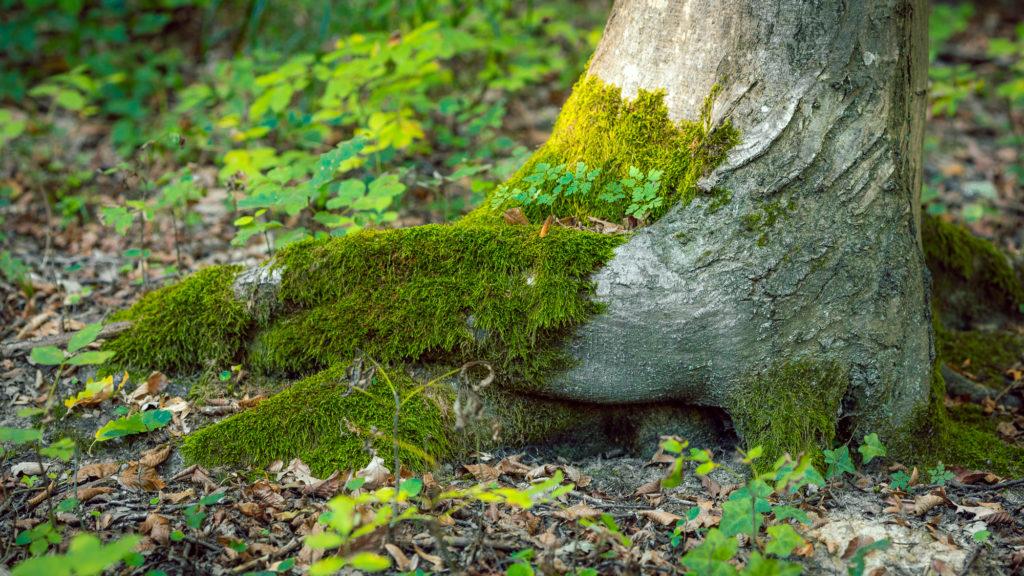 Gesundheit symbolisiert durch grünes Moos auf Baumwurzel
